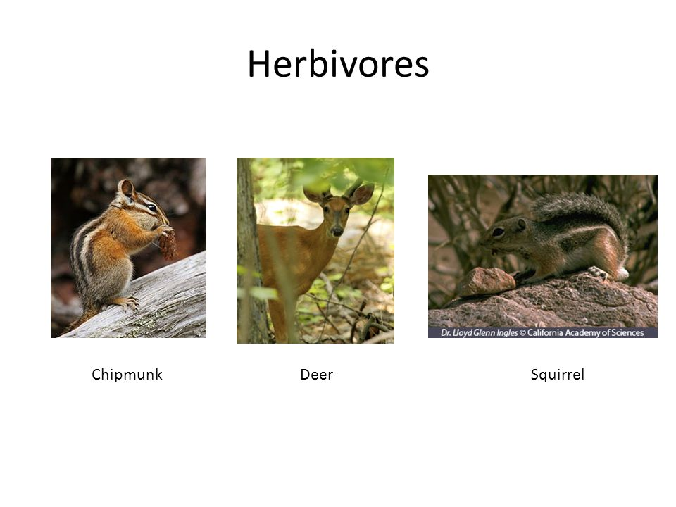 Herbivores ChipmunkDeerSquirrel