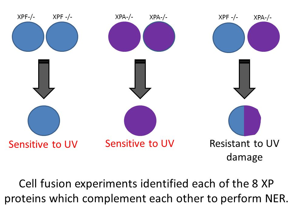 XPF-/- XPA-/- Sensitive to UV Resistant to UV damage Cell fusion experiments identified each of the 8 XP proteins which complement each other to perform NER.