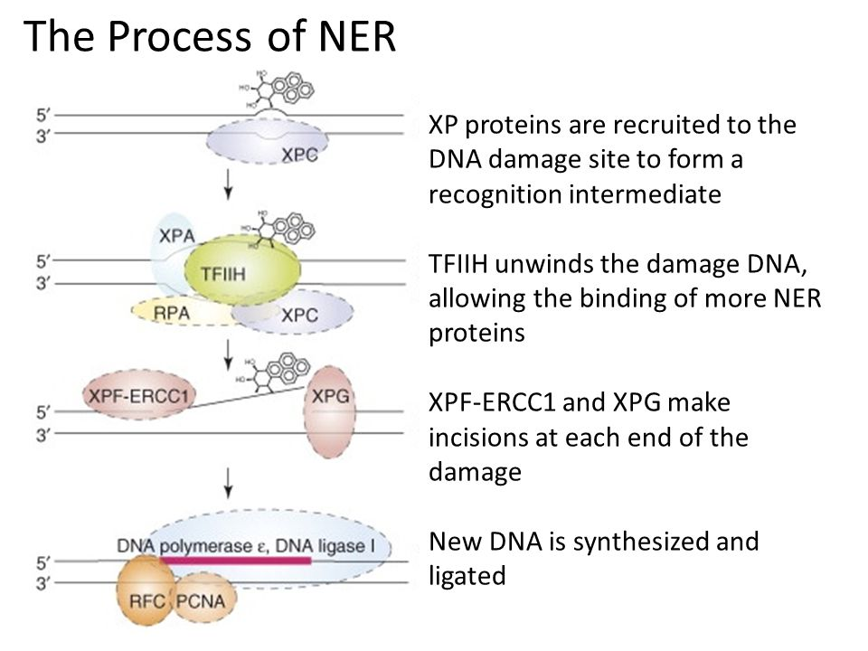 The Process of NER XP proteins are recruited to the DNA damage site to form a recognition intermediate TFIIH unwinds the damage DNA, allowing the binding of more NER proteins XPF-ERCC1 and XPG make incisions at each end of the damage New DNA is synthesized and ligated