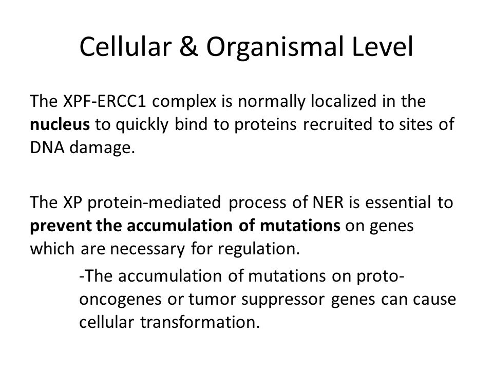 Cellular & Organismal Level The XPF-ERCC1 complex is normally localized in the nucleus to quickly bind to proteins recruited to sites of DNA damage.