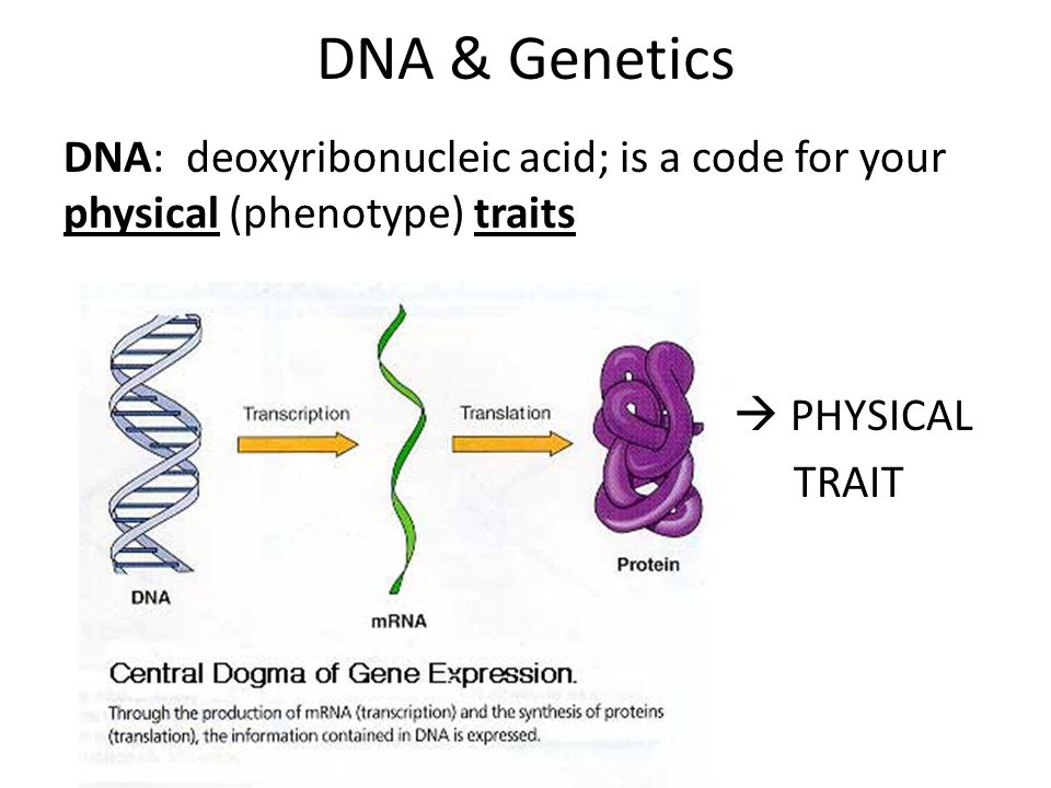 DNA: deoxyribonucleic acid; is a code for your physical (phenotype) traits -  PHYSICAL TRAIT DNA & Genetics