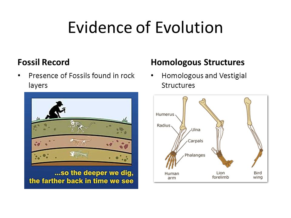 Evidence of Evolution Fossil RecordHomologous Structures Homologous and Vestigial Structures Presence of Fossils found in rock layers