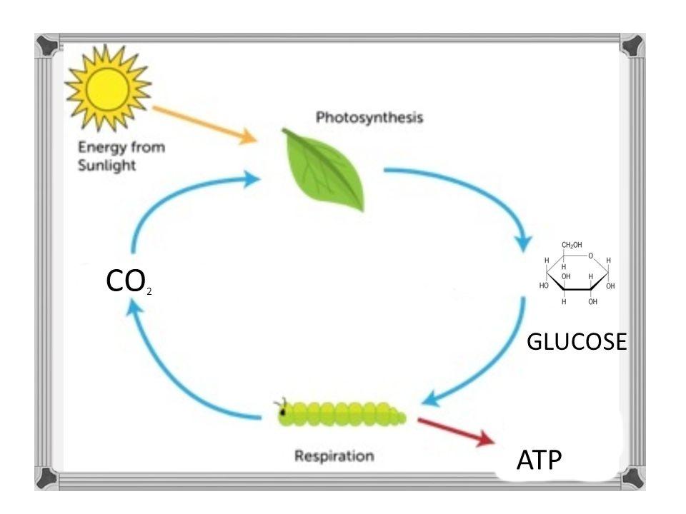 C ATP CO 2 GLUCOSE