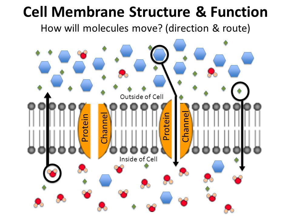 Protein Channel Protein Channel Outside of Cell Inside of Cell Cell Membrane Structure & Function How will molecules move? (direction & route)