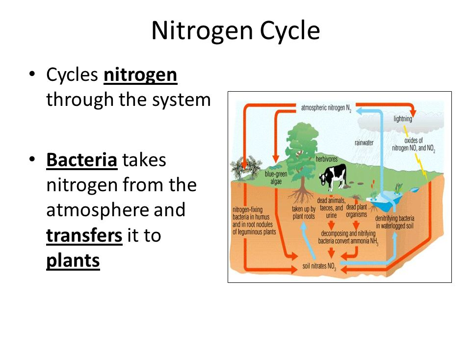 Nitrogen Cycle Cycles nitrogen through the system Bacteria takes nitrogen from the atmosphere and transfers it to plants