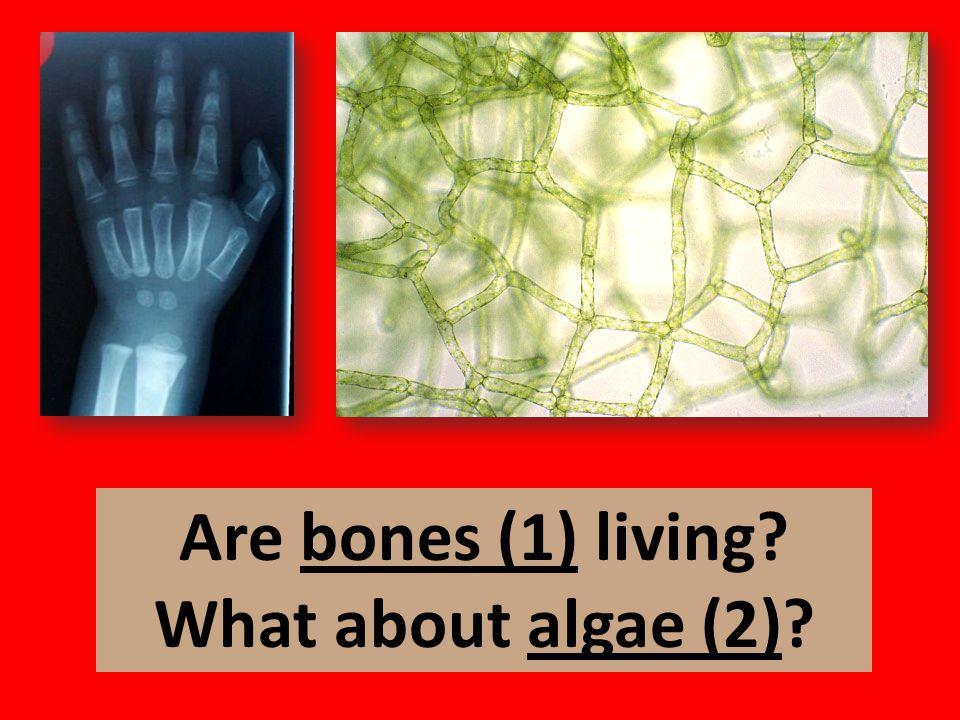 Are bones (1) living What about algae (2)