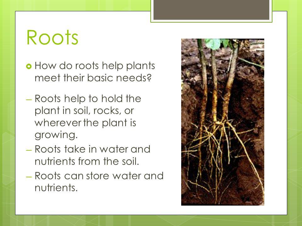 Stem  How do stems help plants meet their basic needs.