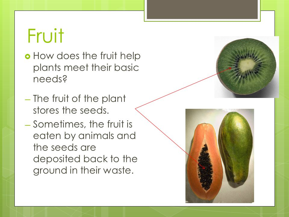 Fruit  How does the fruit help plants meet their basic needs? — The fruit of the plant stores the seeds. — Sometimes, the fruit is eaten by animals a