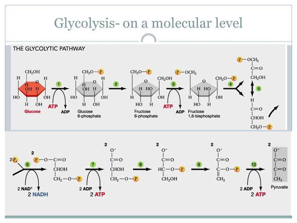 Glycolysis- on a molecular level