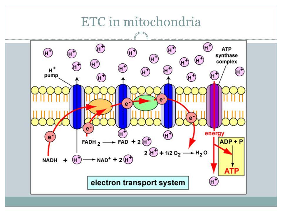 ETC in mitochondria
