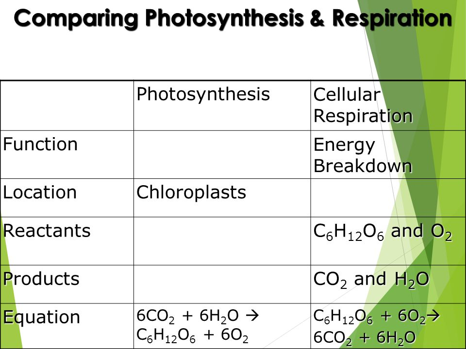 Comparing Photosynthesis & Respiration Photosynthesis Cellular Respiration Function Energy Breakdown LocationChloroplasts Reactants C 6 H 12 O 6 and O