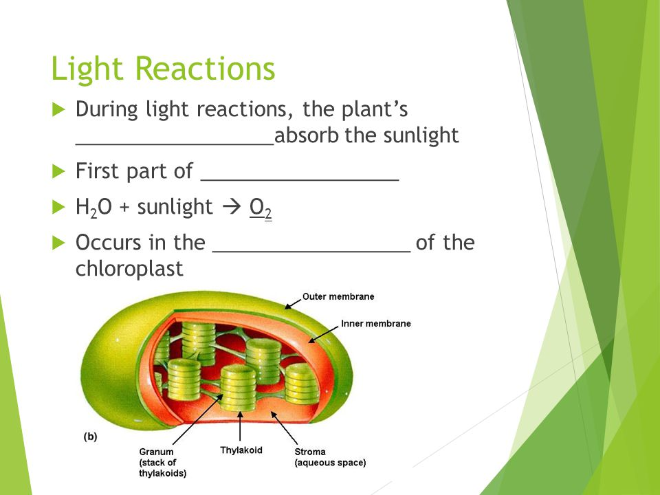 Light Reactions  During light reactions, the plant's _________________absorb the sunlight  First part of _________________  H 2 O + sunlight  O 2