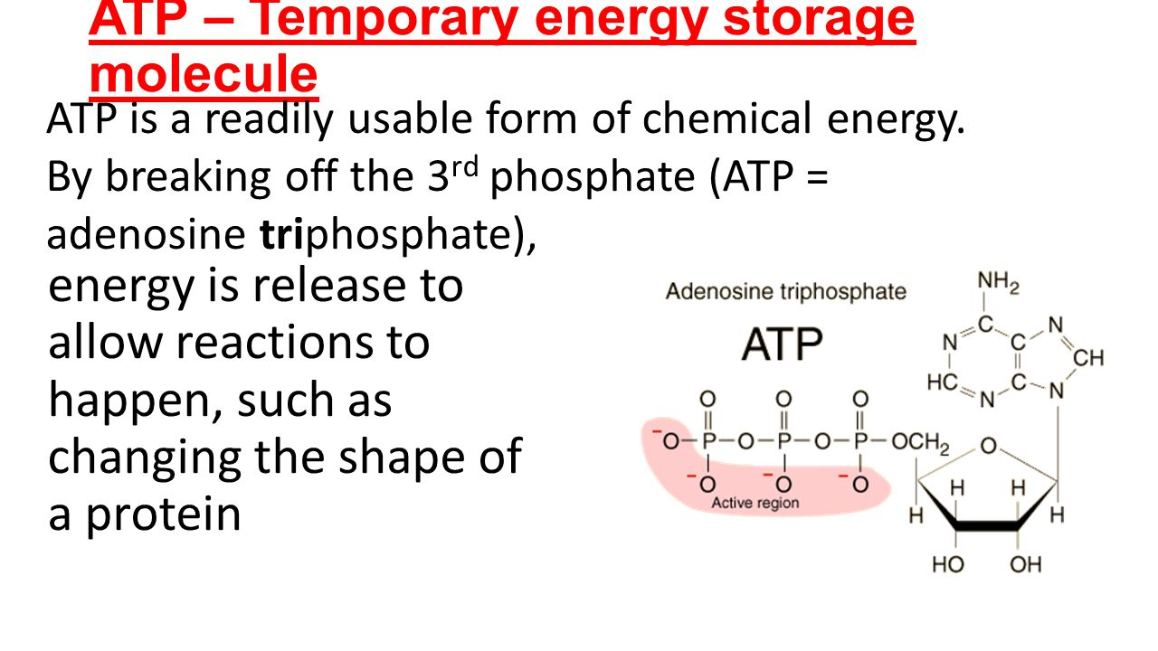 ATP – Temporary energy storage molecule energy is release to allow reactions to happen, such as changing the shape of a protein ATP is a readily usabl