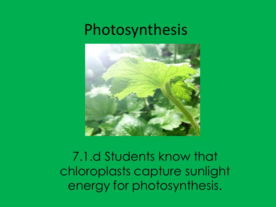 Photosynthesis 7.1.d Students know that chloroplasts capture sunlight energy for photosynthesis.