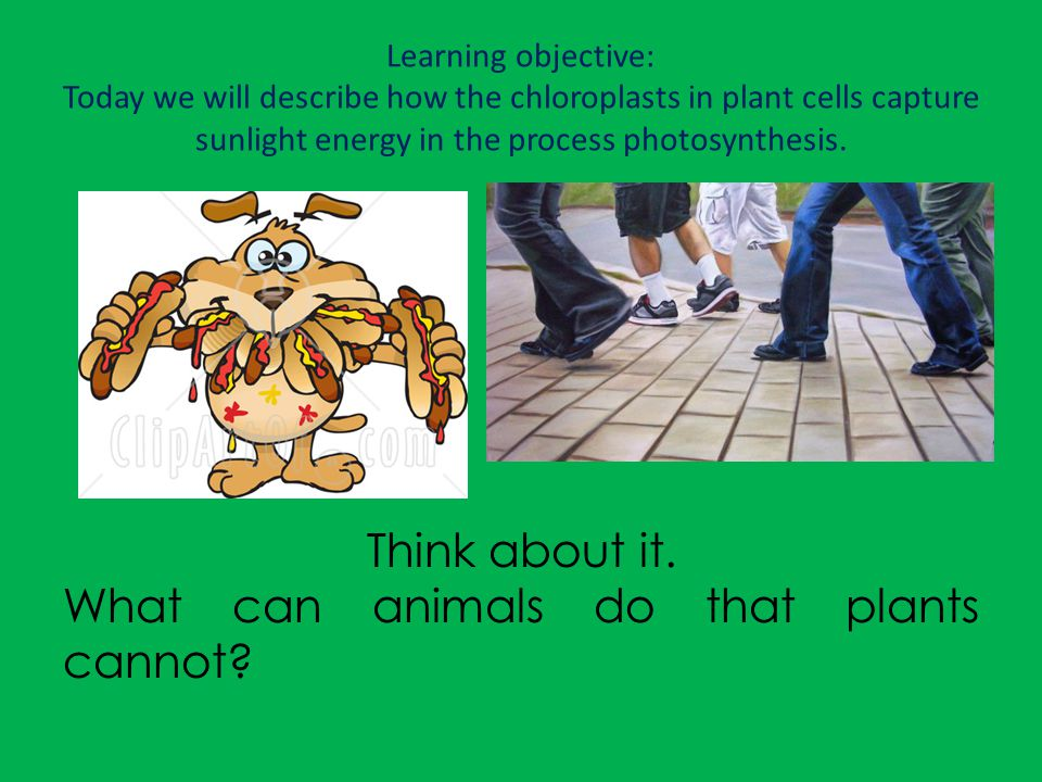 Learning objective: Today we will describe how the chloroplasts in plant cells capture sunlight energy in the process photosynthesis. Think about it.