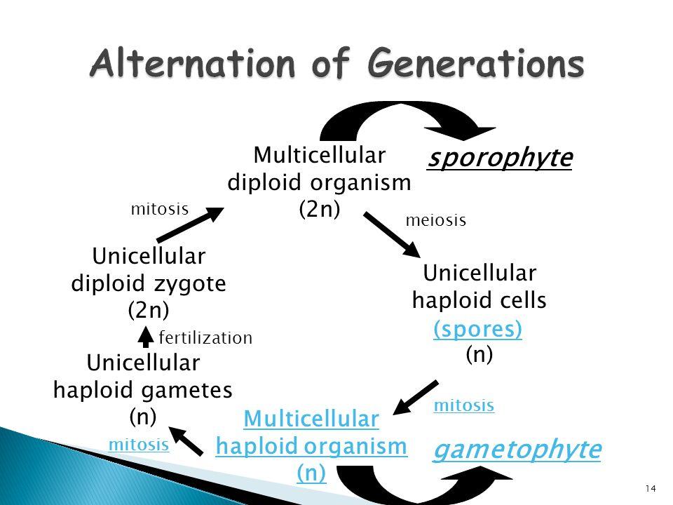 Multicellular diploid organism (2n) Unicellular haploid cells (n) meiosis Unicellular diploid zygote (2n) mitosis (spores) Multicellular haploid organ