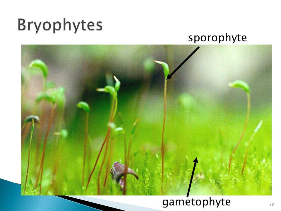 gametophyte sporophyte 22