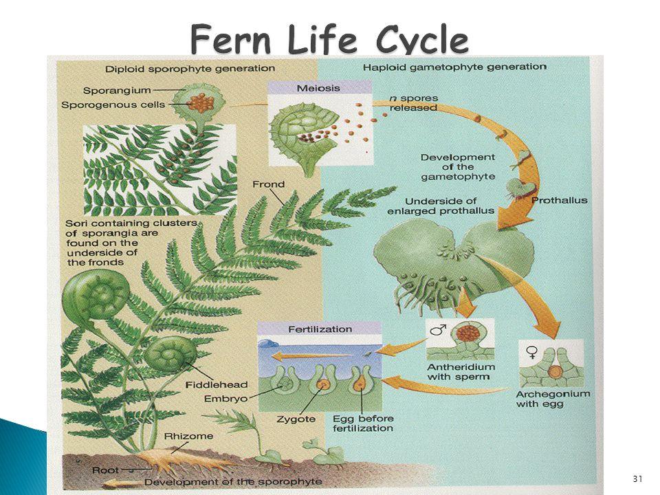 Fern Life Cycle 31