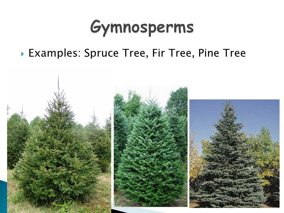  Examples: Spruce Tree, Fir Tree, Pine Tree 34