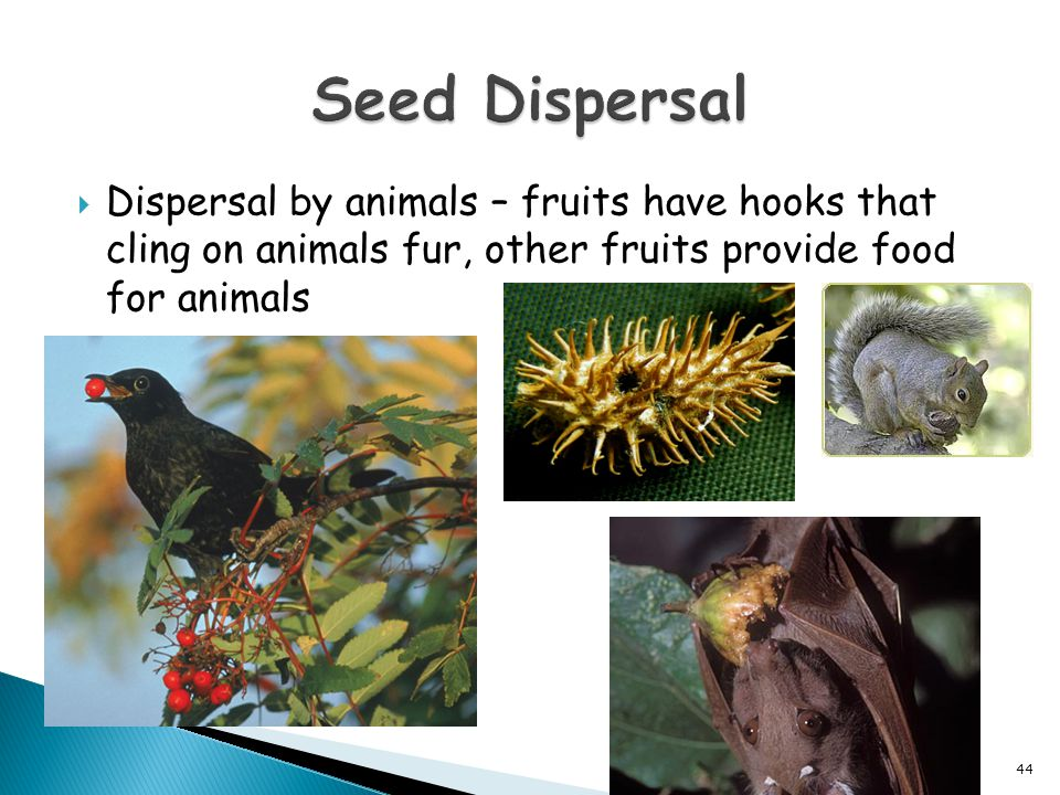  Dispersal by animals – fruits have hooks that cling on animals fur, other fruits provide food for animals 44