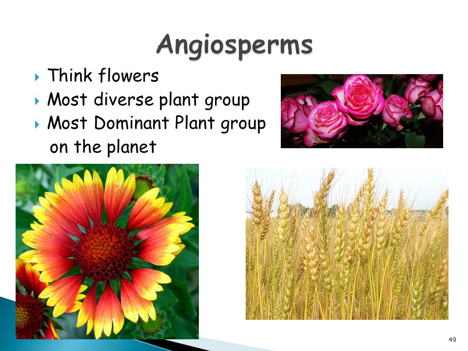  Think flowers  Most diverse plant group  Most Dominant Plant group on the planet 49