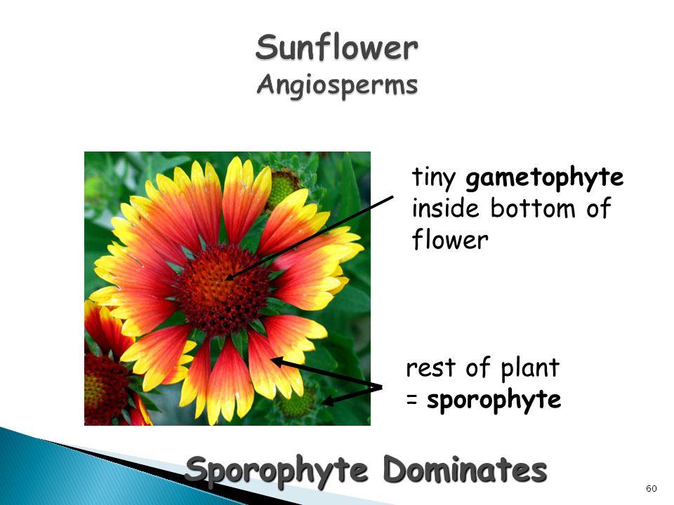 tiny gametophyte inside bottom of flower rest of plant = sporophyte Sporophyte Dominates 60