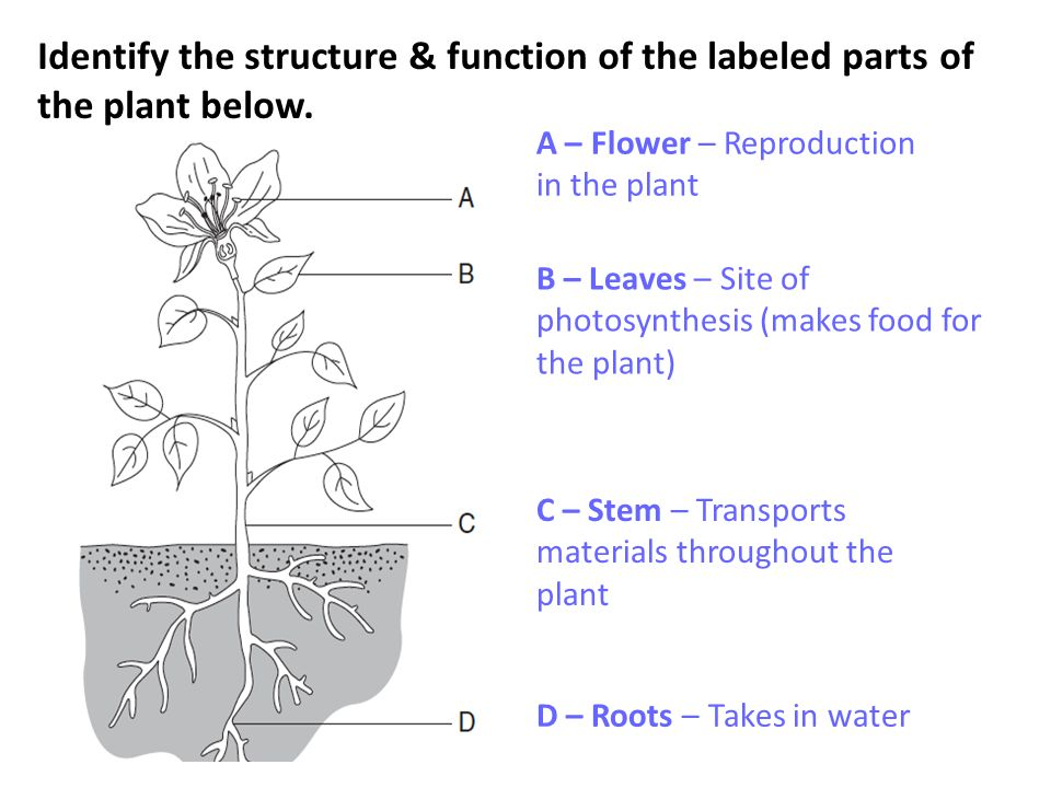 Identify the structure & function of the labeled parts of the plant below. A – Flower – Reproduction in the plant B – Leaves – Site of photosynthesis