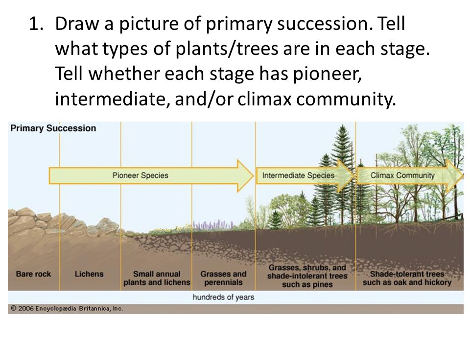 1.Draw a picture of primary succession.Tell what types of plants/trees are in each stage.