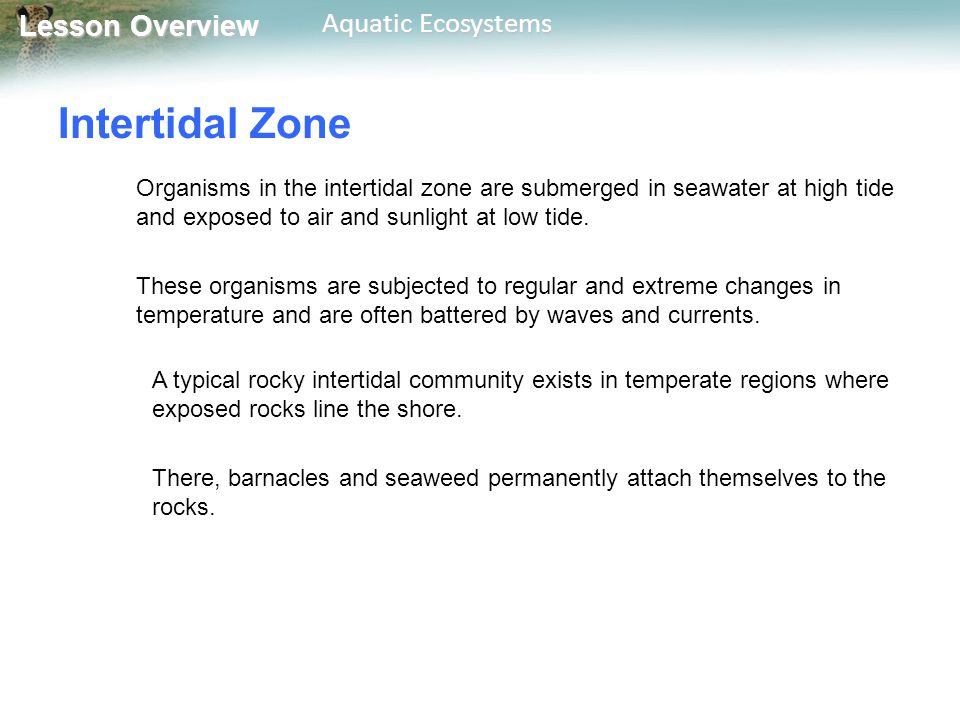 Lesson Overview Lesson Overview Aquatic Ecosystems Intertidal Zone Organisms in the intertidal zone are submerged in seawater at high tide and exposed