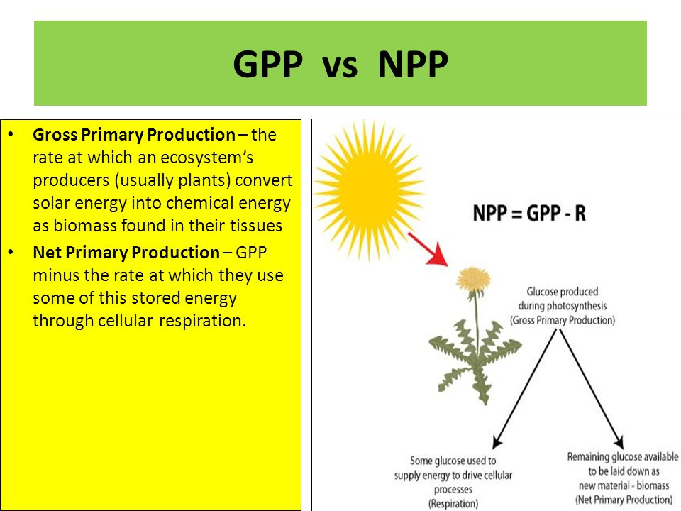 GPP vs NPP Gross Primary Production – the rate at which an ecosystem's producers (usually plants) convert solar energy into chemical energy as biomass