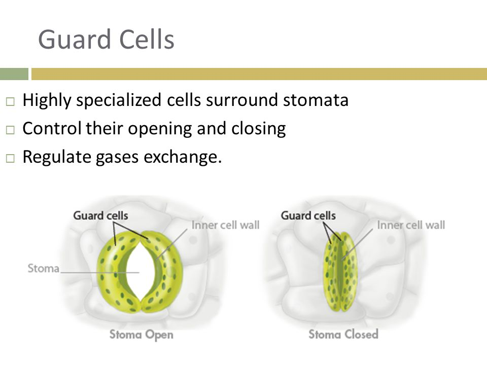 Guard Cells  Highly specialized cells surround stomata  Control their opening and closing  Regulate gases exchange.
