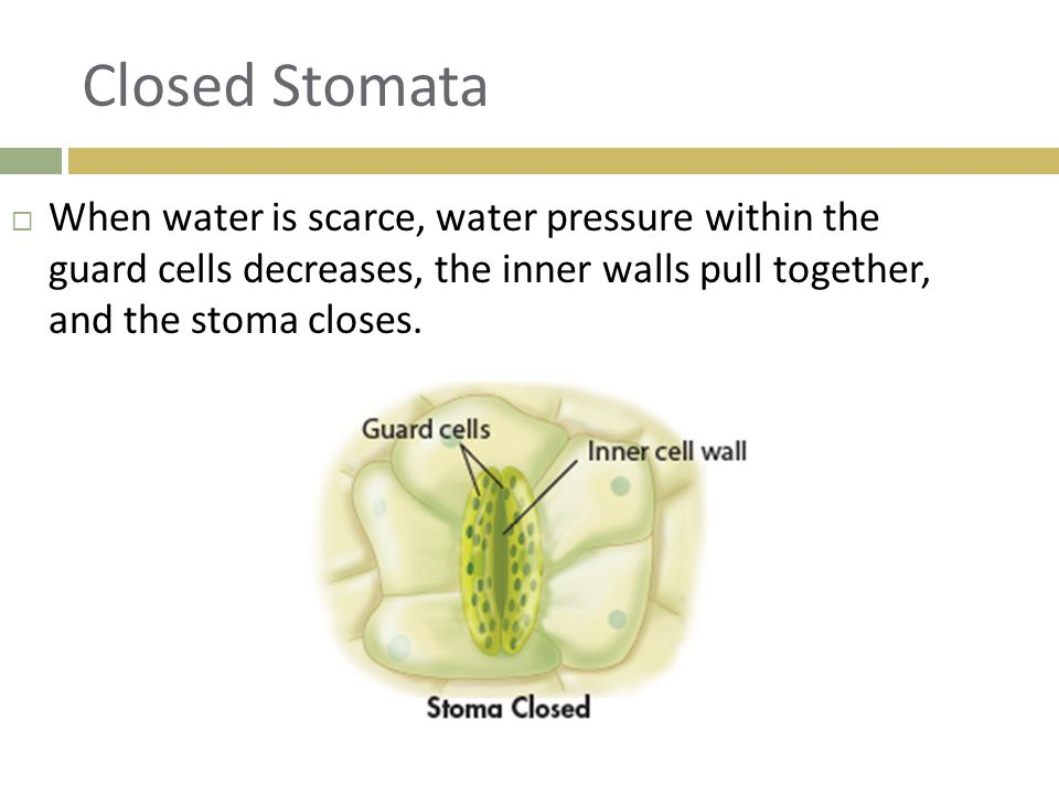 Closed Stomata  When water is scarce, water pressure within the guard cells decreases, the inner walls pull together, and the stoma closes.