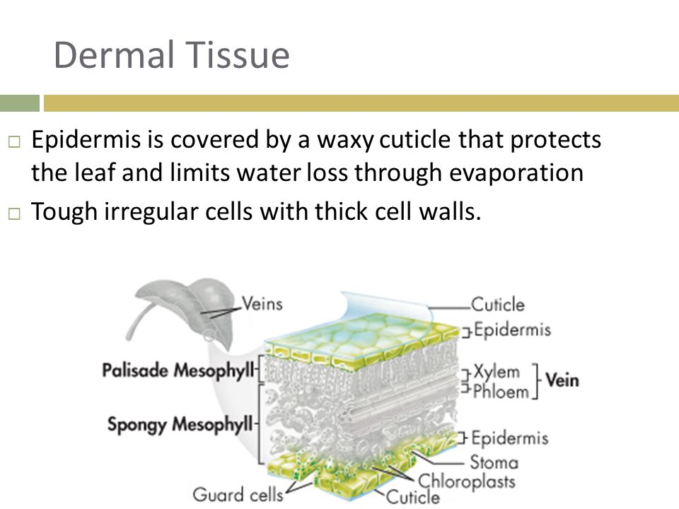 Dermal Tissue  Epidermis is covered by a waxy cuticle that protects the leaf and limits water loss through evaporation  Tough irregular cells with t