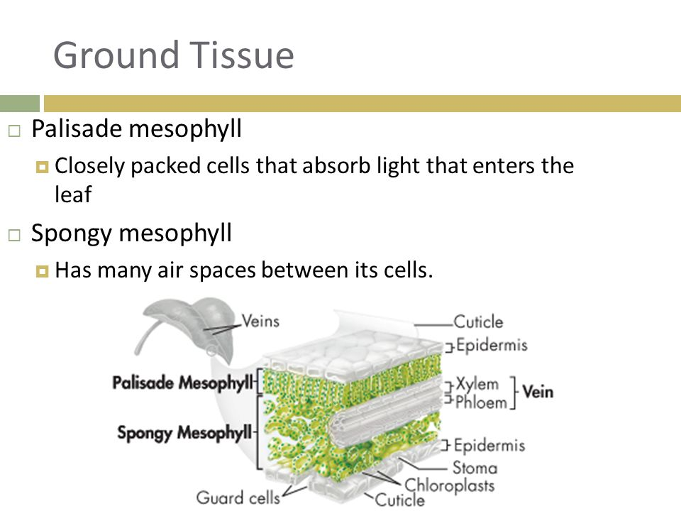 Ground Tissue  Palisade mesophyll  Closely packed cells that absorb light that enters the leaf  Spongy mesophyll  Has many air spaces between its