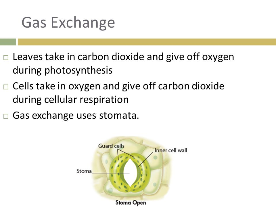 Gas Exchange  Leaves take in carbon dioxide and give off oxygen during photosynthesis  Cells take in oxygen and give off carbon dioxide during cellu
