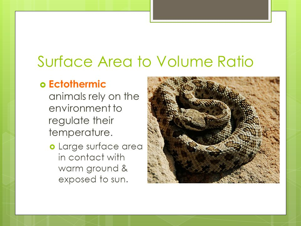 Surface Area to Volume Ratio  Ectothermic animals rely on the environment to regulate their temperature.