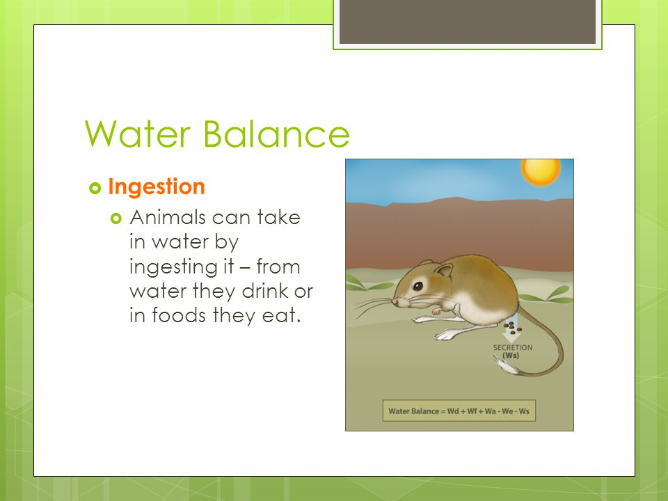 Water Balance  Ingestion  Animals can take in water by ingesting it – from water they drink or in foods they eat.