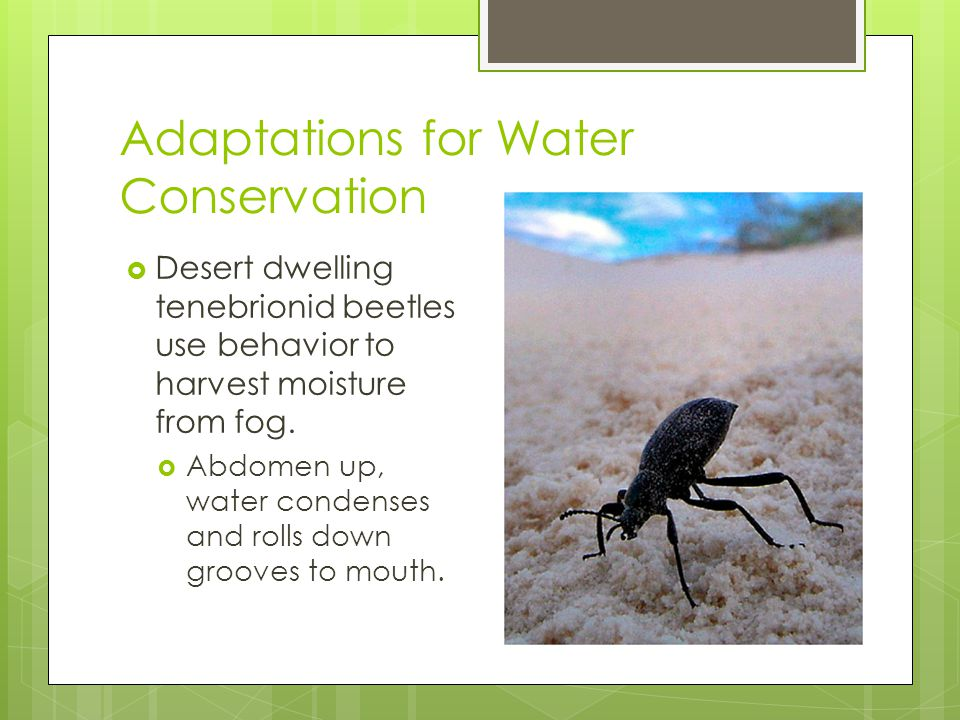 Adaptations for Water Conservation  Desert dwelling tenebrionid beetles use behavior to harvest moisture from fog.