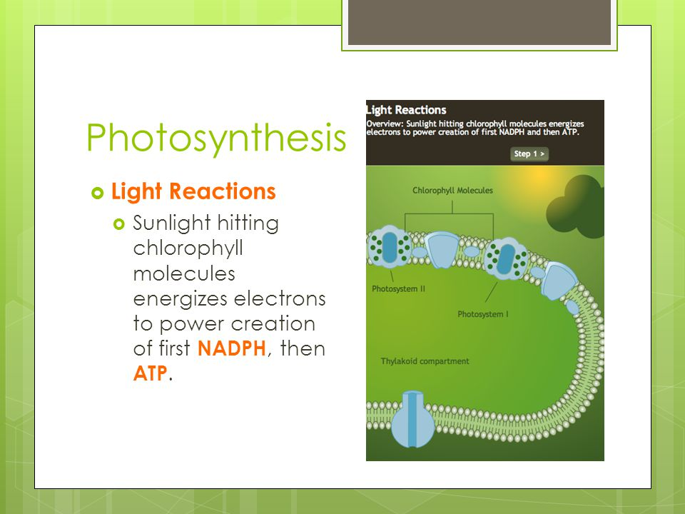 Photosynthesis  Light Reactions  Sunlight hitting chlorophyll molecules energizes electrons to power creation of first NADPH, then ATP.