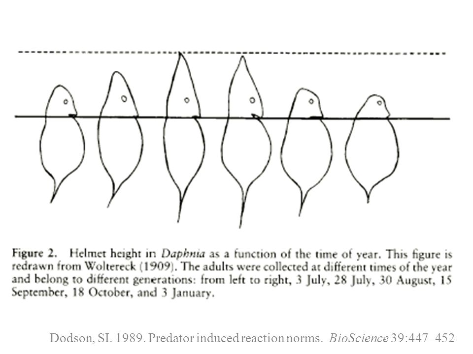 Dodson, SI. 1989. Predator induced reaction norms. BioScience 39:447–452