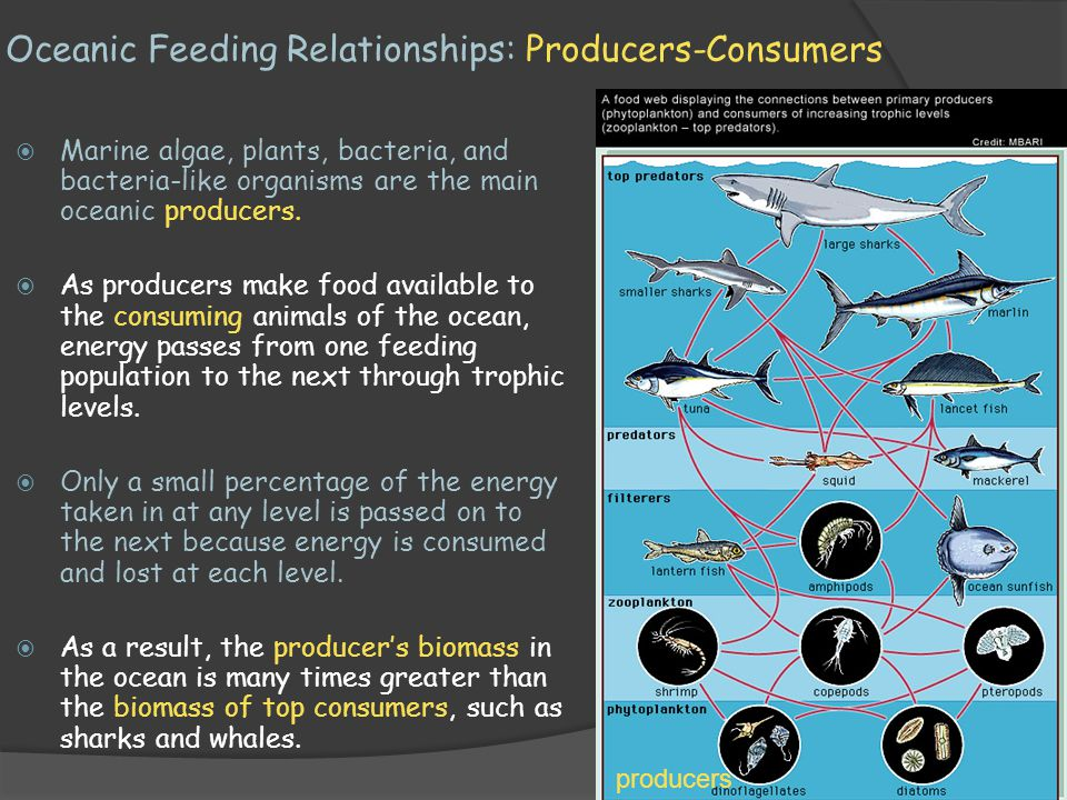 Oceanic Feeding Relationships: Producers-Consumers  Marine algae, plants, bacteria, and bacteria-like organisms are the main oceanic producers.  As