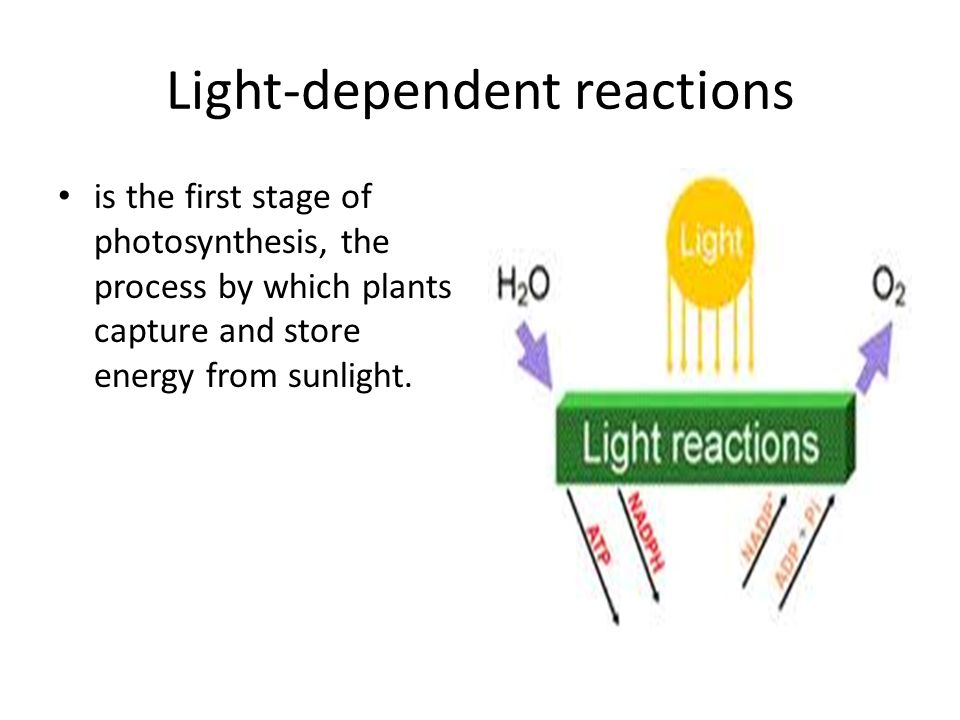 Light-dependent reactions is the first stage of photosynthesis, the process by which plants capture and store energy from sunlight.