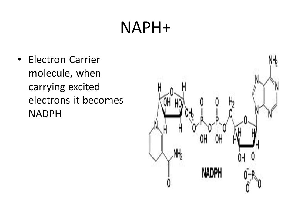 NAPH+ Electron Carrier molecule, when carrying excited electrons it becomes NADPH
