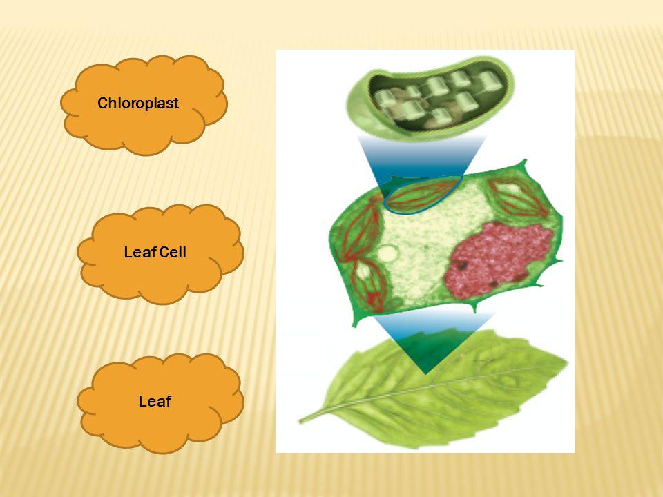 Chloroplast Leaf Cell Leaf