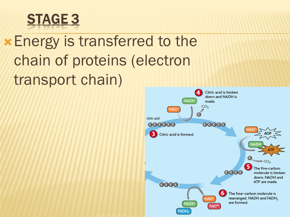 Energy is transferred to the chain of proteins (electron transport chain)