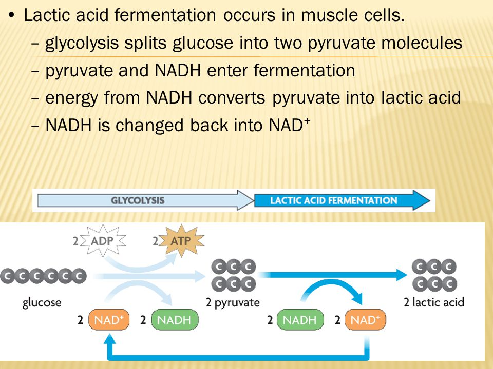 Lactic acid fermentation occurs in muscle cells. –glycolysis splits glucose into two pyruvate molecules –pyruvate and NADH enter fermentation –energy