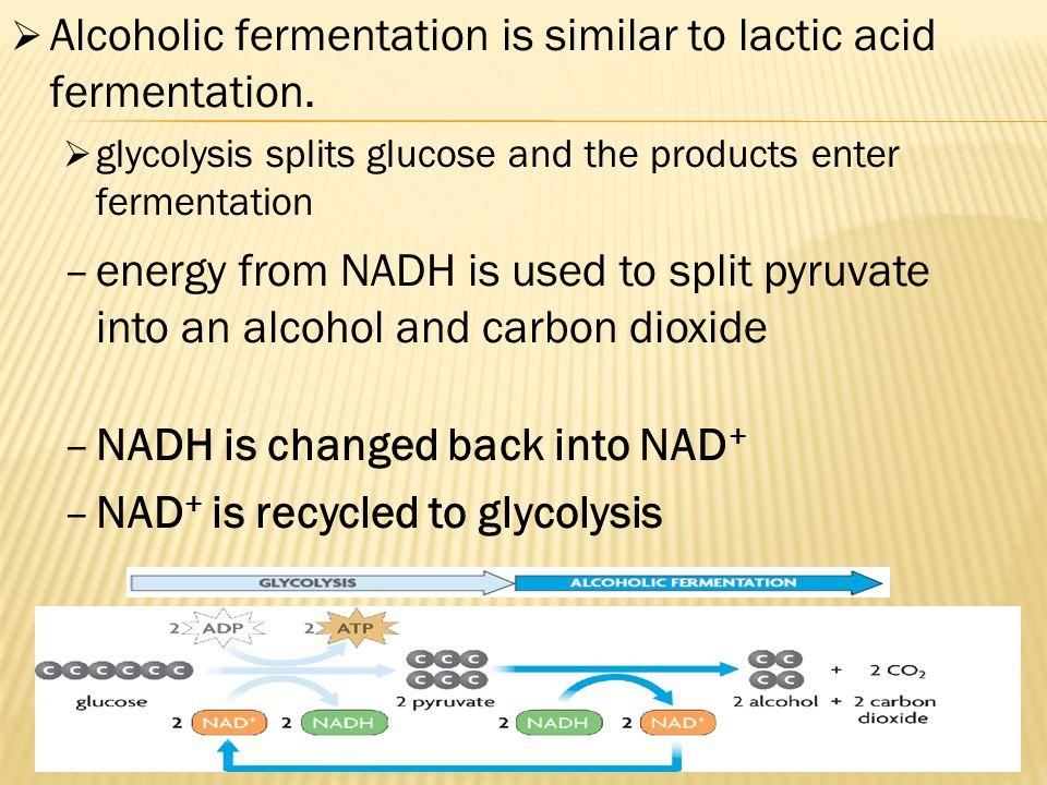  Alcoholic fermentation is similar to lactic acid fermentation.  glycolysis splits glucose and the products enter fermentation  Alcoholic fermentat