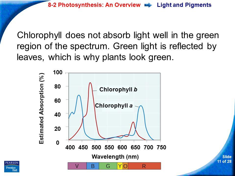 Slide 11 of 28 8-2 Photosynthesis: An Overview Copyright Pearson Prentice Hall Light and Pigments Chlorophyll does not absorb light well in the green region of the spectrum.
