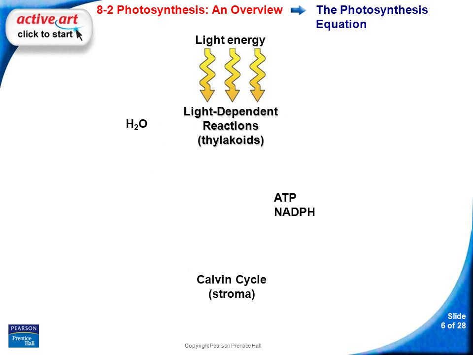 Slide 7 of 28 8-2 Photosynthesis: An Overview Copyright Pearson Prentice Hall Light and Pigments What is the role of light and chlorophyll in photosynthesis?