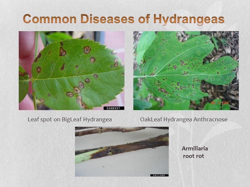 Leaf spot on BigLeaf Hydrangea OakLeaf Hydrangea Anthracnose Armillaria root rot